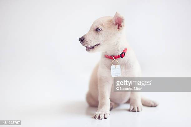 white puppy - collar stock pictures, royalty-free photos & images