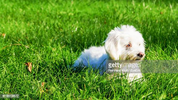 White Puppy Sitting On Grassy Field