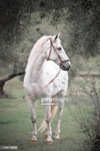 white  pure  spanish stallion posing  in olive garden. andalusia. spain - spanish olive fotografías e imágenes de stock