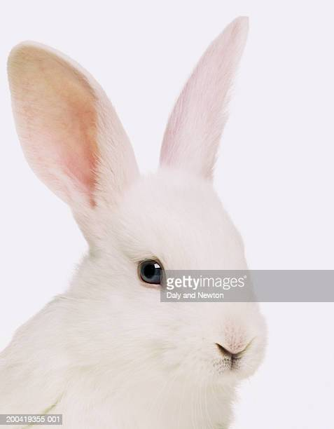 white rabbit (oryctolagus cuniculus), close up - lagomorphs stock pictures, royalty-free photos & images