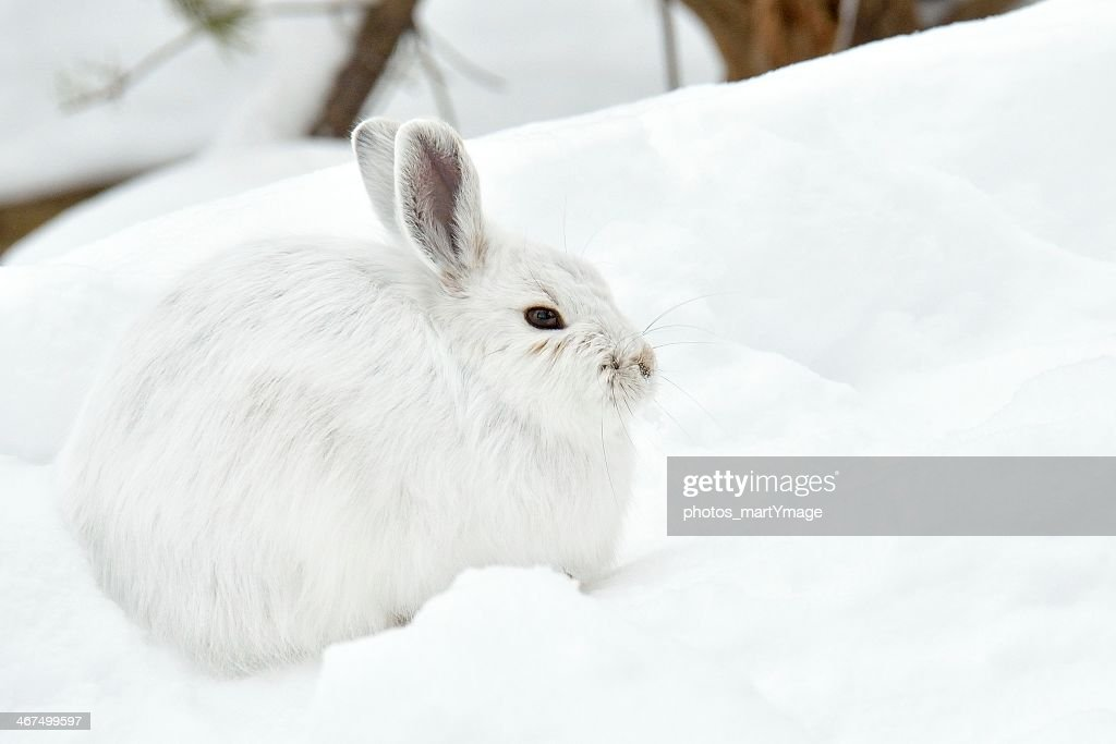 White rabbit photographed in the snow : Stock Photo