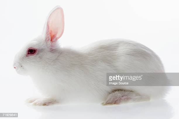 white rabbit - white rabbit stock pictures, royalty-free photos & images