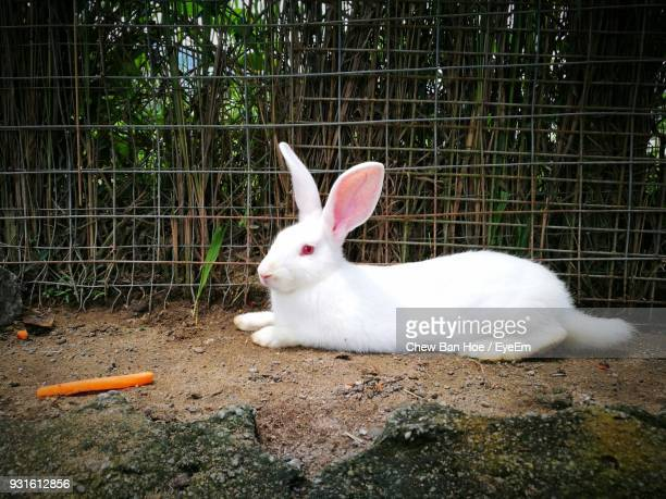 white rabbit sitting on field - white rabbit stock pictures, royalty-free photos & images