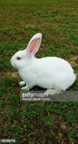 white rabbit sitting on grassy field - lagomorphs stock pictures, royalty-free photos & images