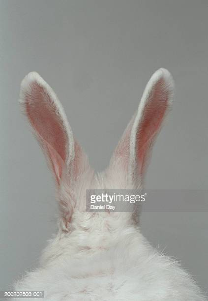 white rabbit with ears up, rear view (digital enhancement) - lagomorphs stock pictures, royalty-free photos & images