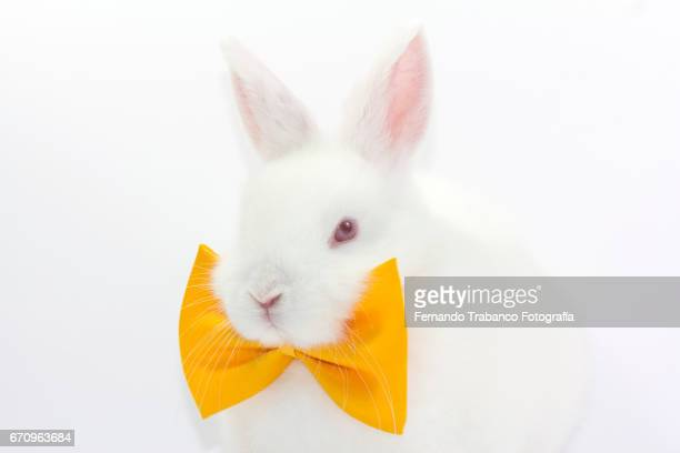 white rabbit with elegant yellow bow tie in fashion show (oryctolagus cuniculus domesticus) - easter bunny stock pictures, royalty-free photos & images