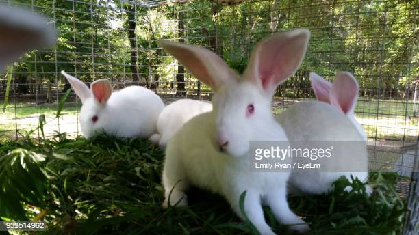 White Rabbits In Cage