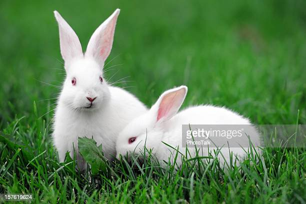 white rabbits - xlarge - domestic animals stock pictures, royalty-free photos & images