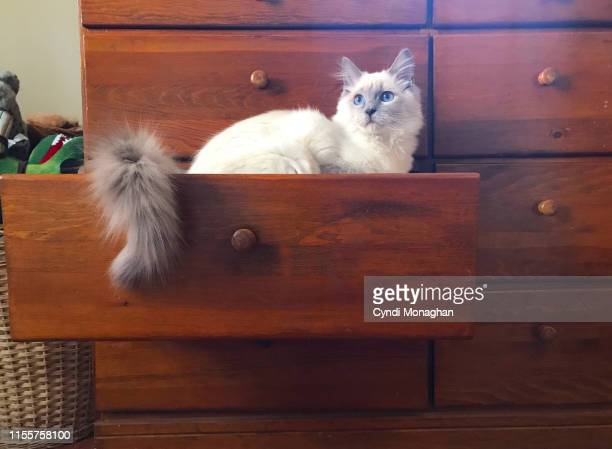white ragdoll kitten in a dresser drawer - ragdoll cat stock pictures, royalty-free photos & images