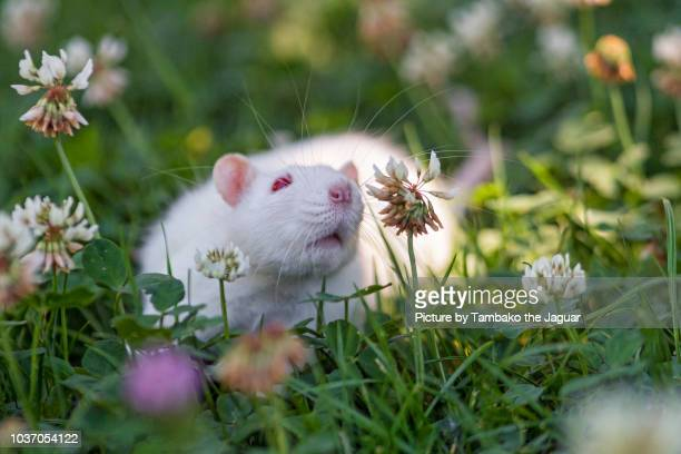White rat among the flowers