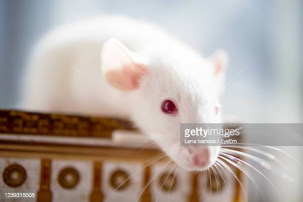 white rat with red eyes - lena spoof stock pictures, royalty-free photos & images