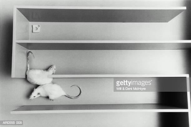 white rats in a maze searching for cheese, aerial view (b&w) - ratazana imagens e fotografias de stock