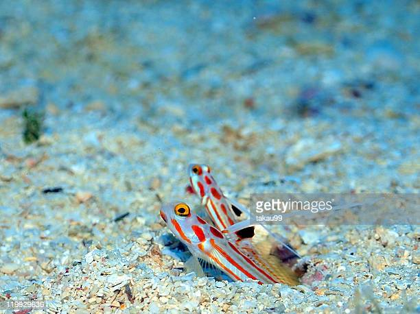 White rayed shrimp goby