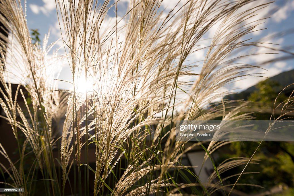 White reed in the sun : Stock-Foto