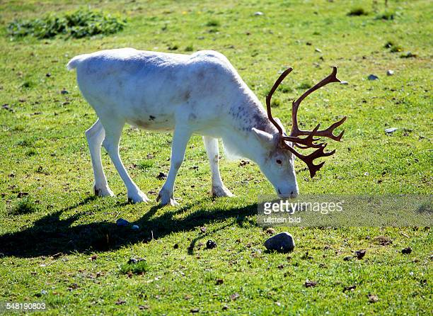 white reindeer in the arctic summer
