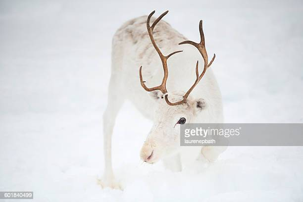 white reindeer in the snow, inari, lapland, finland - reindeer stock photos and pictures