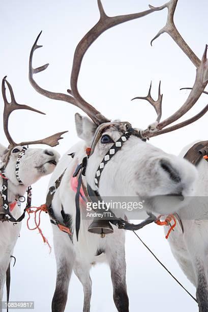 White reindeers