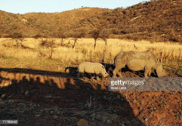 A white Rhino and calf seen from the truck during an All Blacks Safari in the Palenisburg National Park near Sun City on August 31 2006 in Rustenburg...