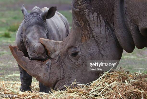 White Rhino calf rubs against its Mother's horn in an enclosure at Taronga Western Plains Zoo on September 17 2019 in Dubbo Australia The female...