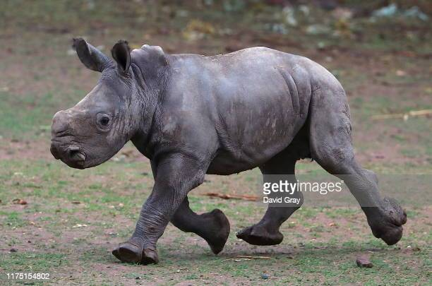 White Rhino calf runs in an enclosure at Taronga Western Plains Zoo on September 17 2019 in Dubbo Australia The female White Rhino calf was born on...