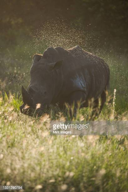 a white rhino, ceratotherium simum, walks through long green grass, swarm of insects fly around it - one animal stock pictures, royalty-free photos & images