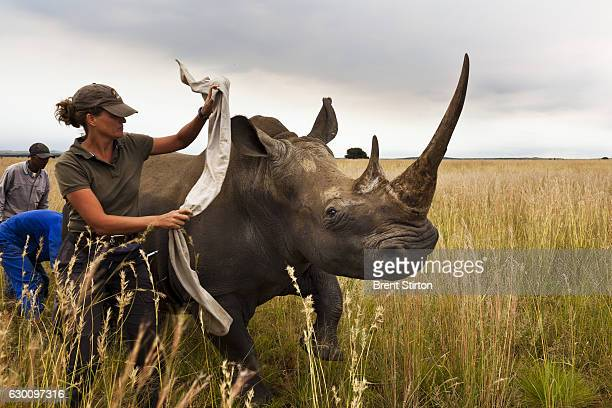 White Rhino cow is dehorned as a precautionary antipoaching measure on a game farm outside of Klerksdorp South Africa on March 25 2011 Rhino Poaching...