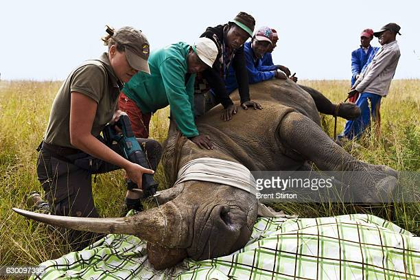 White Rhino cow is dehorned as a precautionary antipoaching measure on a game farm outside of Klerksdorp South Africa March 25 2011 Rhino Poaching...