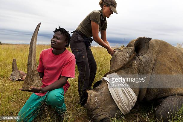 White Rhino cow is dehorned as a precautionary antipoaching measure on a game farm outside of Klerksdorp South Africa on March 25 2011 The Vet's...
