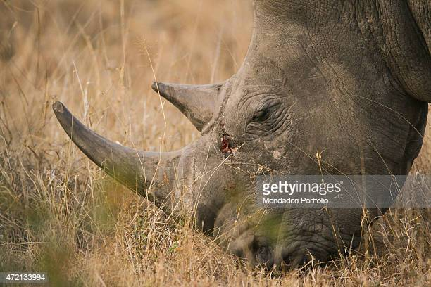 'White rhino grazing Londolozi Reserve next to Kruger National Park South Africa Africa August 2014 '
