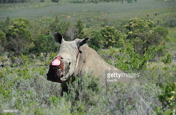 A white rhino Higgins after his horn was removed on October 19 2013 in Worcester South Africa Two surgeons Dr Gerhard Steenkamp and Dr Johan Marais...