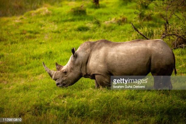 a white rhino in a side shot, standing and eating - lake nakuru - fotografias e filmes do acervo