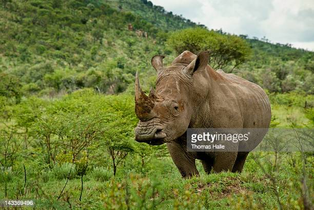 White rhino in green field