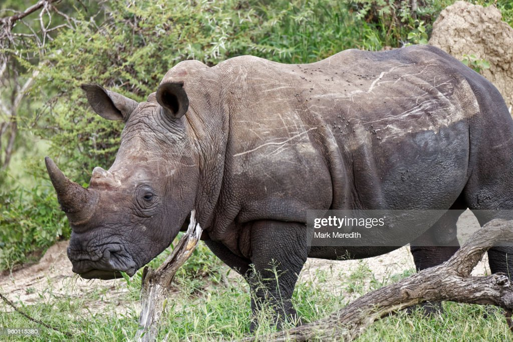 White rhino in the Klaserie Reserve, Greater Kruger National Park : Stock-Foto