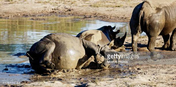 white rhino in the mud 3 - big bums stock pictures, royalty-free photos & images
