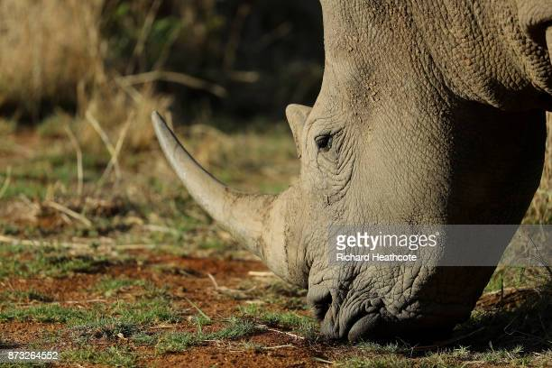 White Rhino in the Pilanesberg National Park before the third round of the Nedbank Golf Challenge at Gary Player CC on November 11 2017 in Sun City...