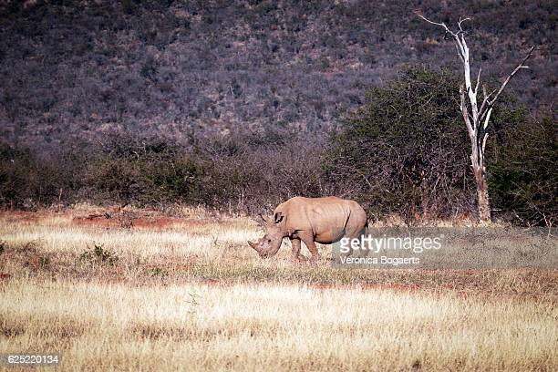 White rhino in the plains,Madikwe Game Reserve,South Africa