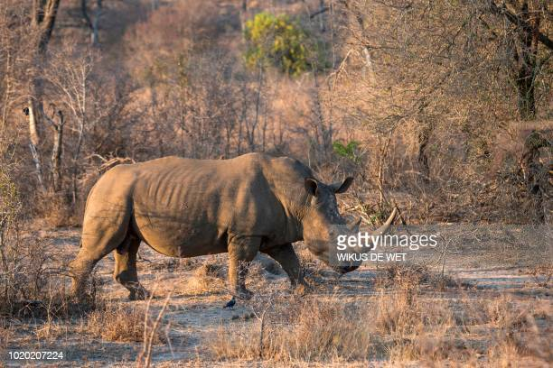 A white rhino is seen at the Kruger National Park on August 20 2018