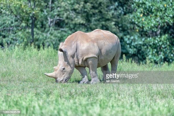 white rhino - ian gwinn stock photos and pictures