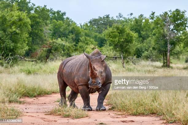 white rhino - swaziland fotografías e imágenes de stock