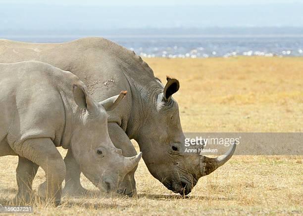 White Rhino ~