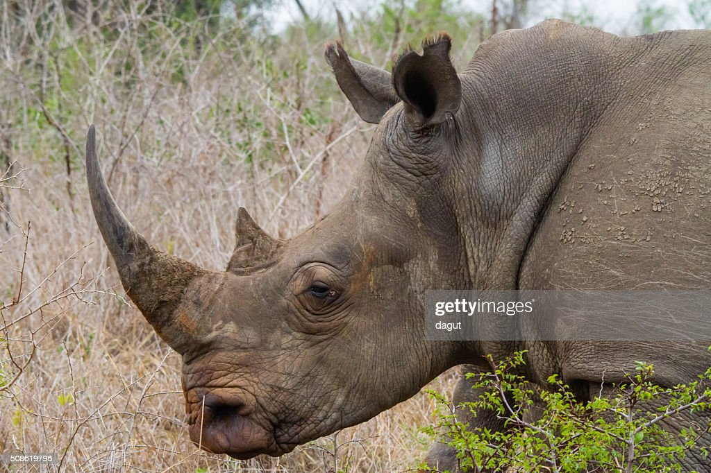White Rhino : Stock Photo