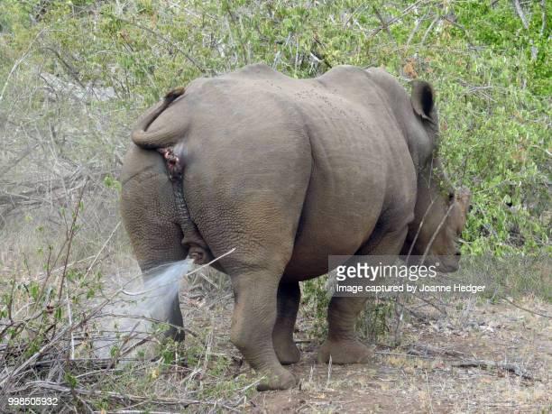 white rhino - マーキング ストックフォトと画像