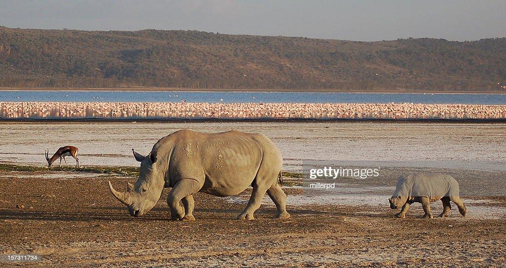 White rhino, pink flamingos : Stock Photo