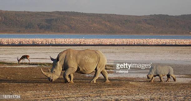 white rhino, pink flamingos - lake nakuru stock photos and pictures