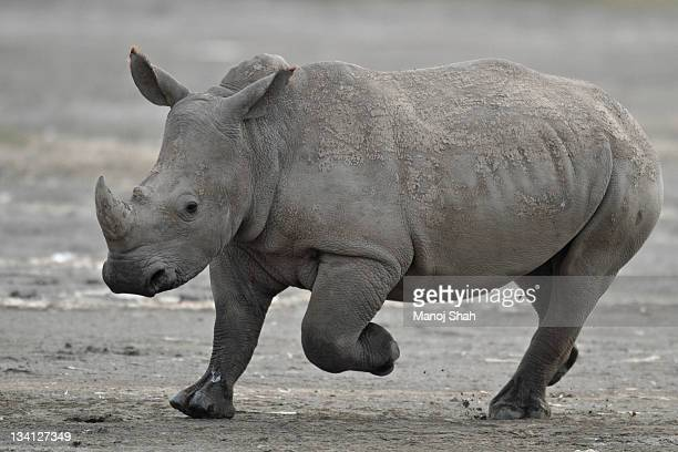 White Rhino running