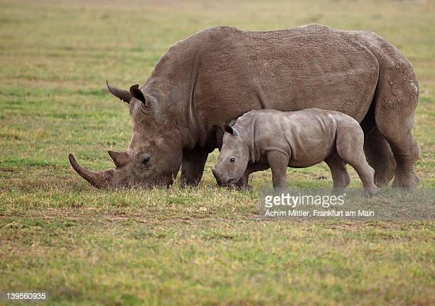 White rhinocero grazing side by side