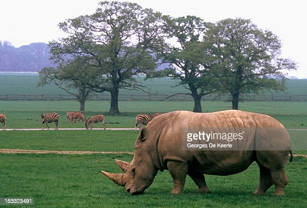A white rhinoceros at the animal farm of Anne Stewart in Bedfordshire on May 11 1988 Anne is among the leaders of the fight to protect the animals...