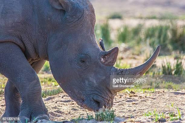 White Rhinoceros closeup
