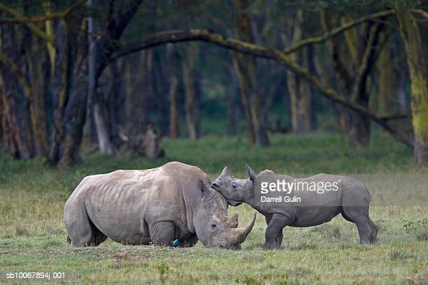 White Rhinoceros, Diceros simus, mother and young