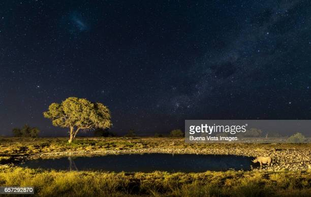 A white rhinoceros (Ceratotherium simp) drinking at a pool under starry sky